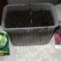 Как вырастить семена капусты