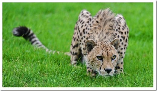 Хвост гепарда нельзя купировать!
