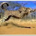 Гепард – то ли кошка, то ли собака